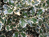 Close-up of holly foliage