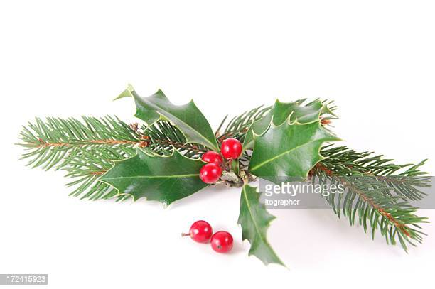 Holly pine