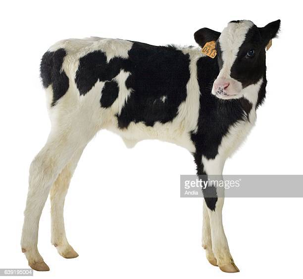 Holstein calf on a white background photo that can be outlined Suckled calf