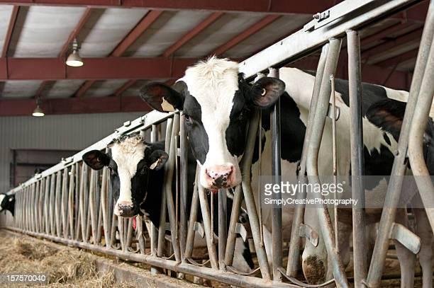 Holstein Cattle in Barn