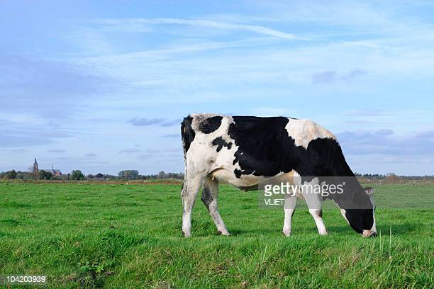 Holstein cow in a meadow