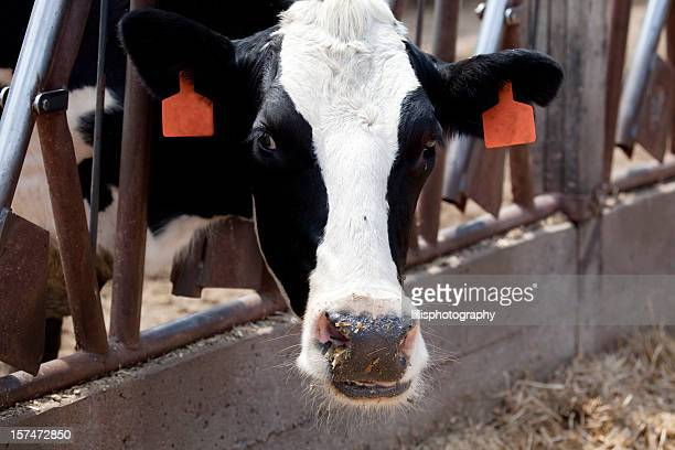 Holstein Cow in Feed  Lot