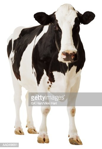 Holstein cow  (Bos tuarus)