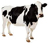 Holstein cow (Bos taurus)