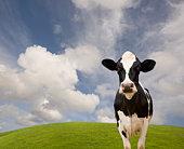 Holstein dairy cow
