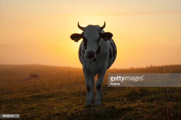 Holstein Friesian cow in field at sunrise breed of dairy cattle originating from the Dutch provinces of North Holland and Friesland