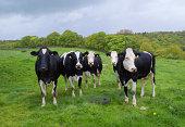 Holstein Friesian Cows