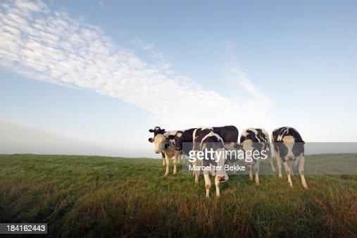 Holstein herd