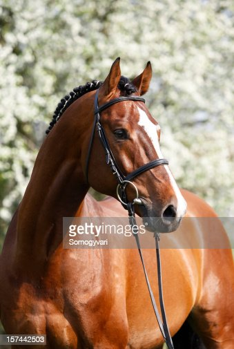 Holsteiner breeding stallion portrait