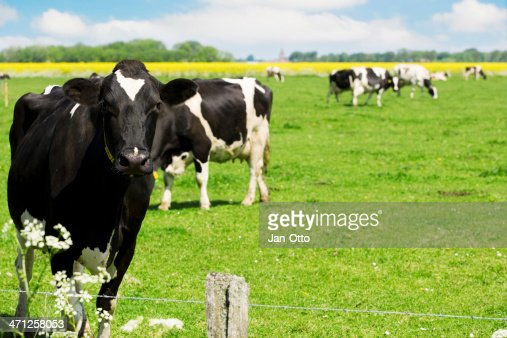 Holsteiner 牛