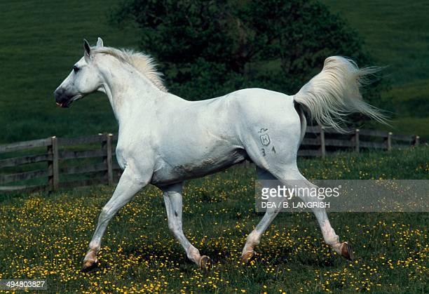 Holsteiner Rococo horse Equidae