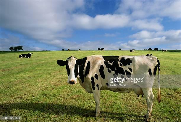 Holstein-Friesian cow standing in field