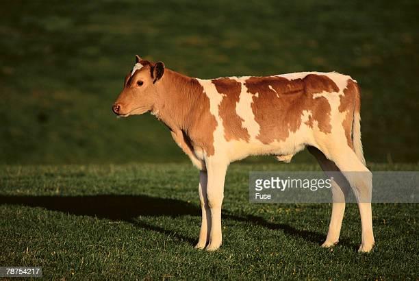 Holstein-Jersey Mix Calf