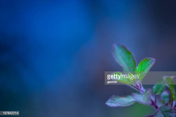 Holy basil or called tulasi in India against blue background