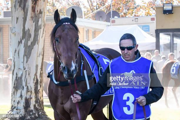 Holy Blade before the Murray Downs Golf Country Club 2YO Maiden Plate at Swan Hill Racecourse on June 10 2017 in Swan Hill Australia