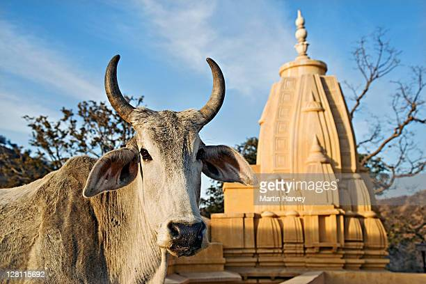 Holy Cow in front of a small Hindu temple in Jaipur. India.