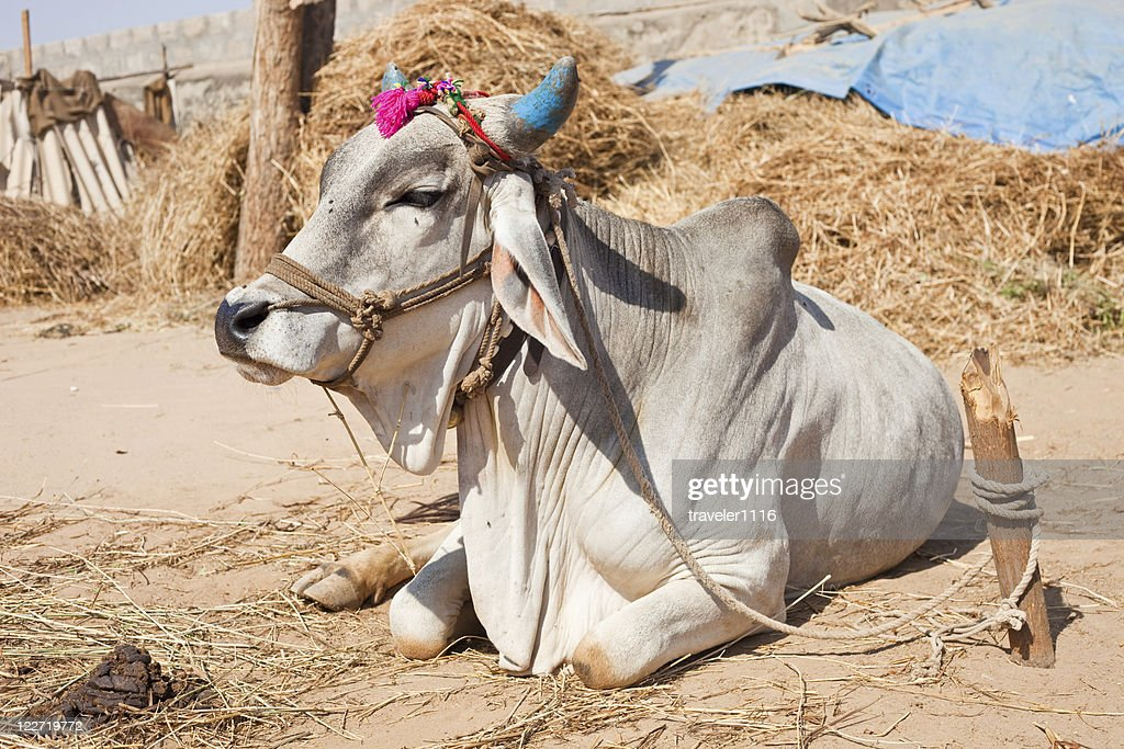 Holy Cow : Stock Photo