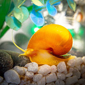 Home Aquarium with guppies and golden mystery snail
