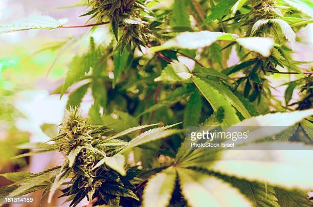 Home grown cannabis plants.
