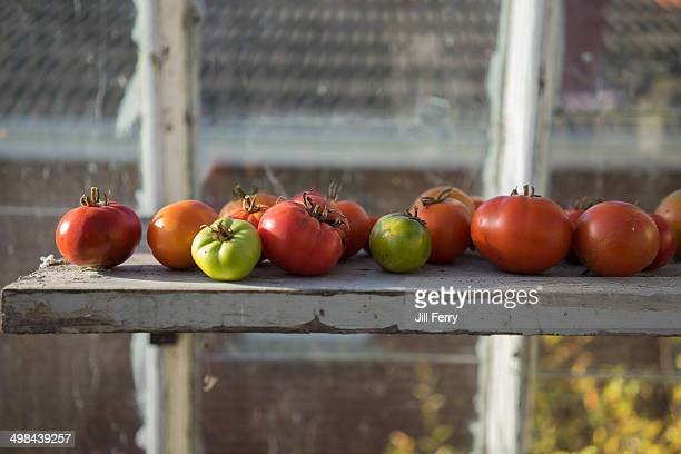 Home grown tomatoes ripening on a shelf at the end of the growing season