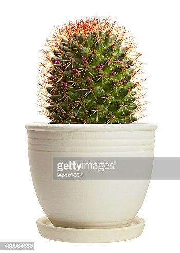 Home plant cactus : Stock Photo