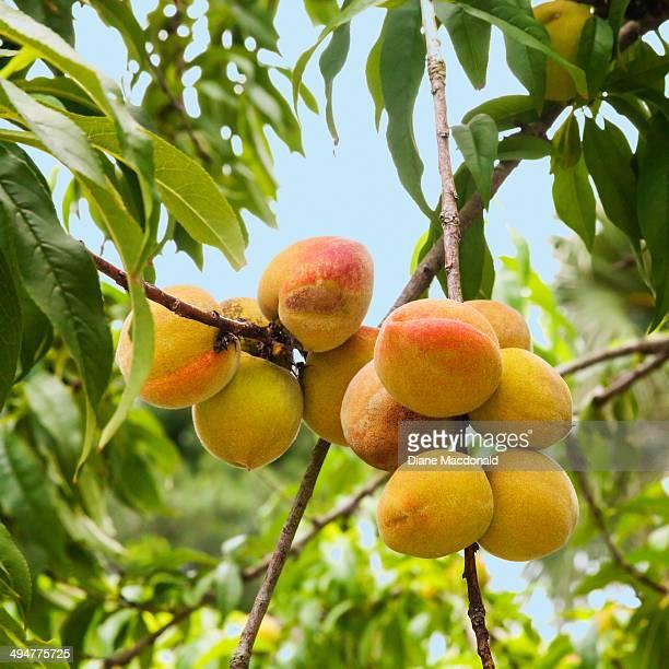 Homegrown Florida peaches
