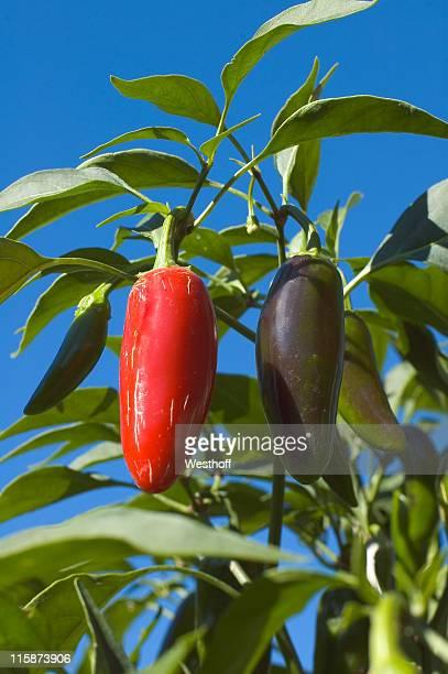 Eigengewächs Jalapeno-Paprika