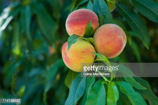 Homegrown peaches ripening on the tree : Stock Photo