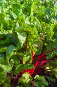 Homegrown Swiss Chard or Red Chard