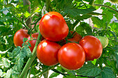 Tomato, Vegetable Garden, Vine - Plant