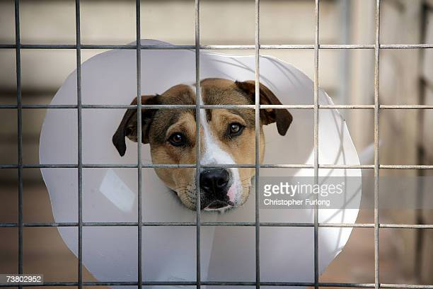 Homeless cross Staffordshire Bull Terrier Dodger sits in his kennel at the RSPCA Animal Rescue Centre in Barnes Hill Birmingham England on 4 April...