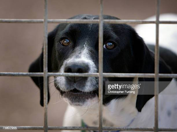 A homeless dog called Spot sits in his kennel at the RSPCA Animal Rescue Centre in Barnes Hill Birmingham England on 4 April 2007 The Animal Welfare...