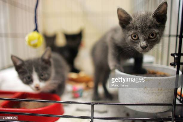 Homeless kittens look up from the cage at Animal Rescue New Orleans headquarters May 30 2007 in New Orleans Louisiana The grassroots group shelters...