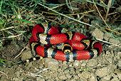 Honduran Milk Snake
