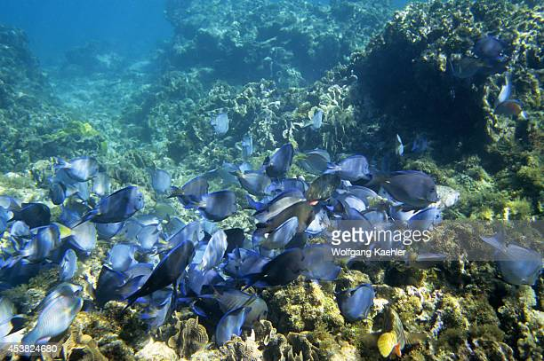 Honduras Bay Islands Roatan Island Tabyana Beach School Of Blue Tang Fish