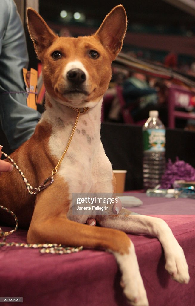 Honey a Basenji looks on at the 133rd Annual Westminster Kennel Club Dog Show at Madison Square Garden on February 9 2009 in New York City