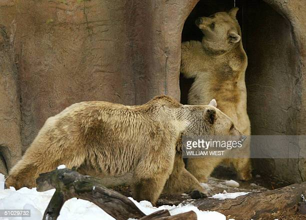 Honey an 18yearold brown bear looks for a way out as her partner Rowan a 20yearold brown bear surveys his surroundings after snow and an ice...