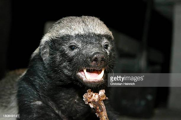 Honey Badger or Ratel (Mellivora capensis) is eating the rest of a t-bone steak in the night, Moremi Nationalpark, Moremi Wildlife Reserve, Okavango Delta, Botswana, Africa