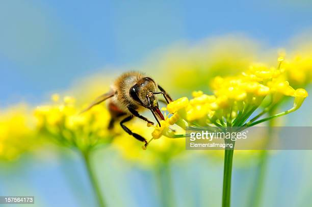 Honey bee Apis mellifera collecting nectar from flower