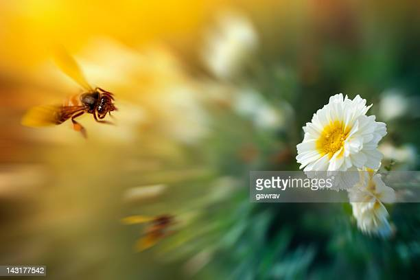 Honey bee approaching a white flower for nectar.