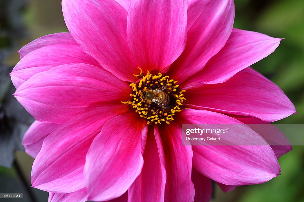Honey bee at center of pink dahlia. : Stock Photo