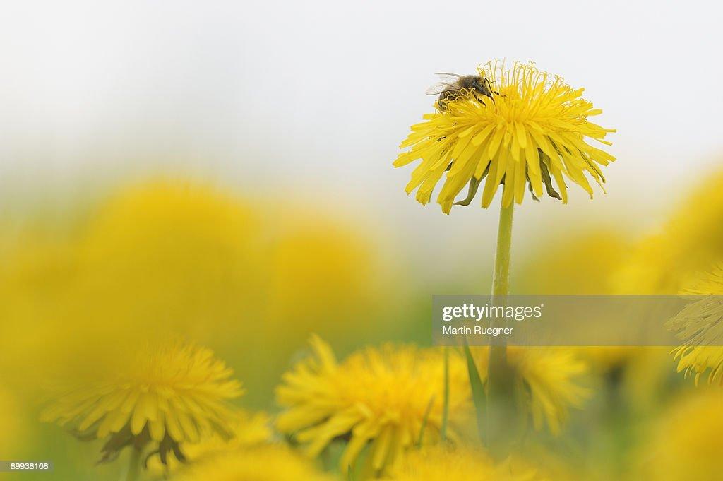 Honey Bee at Dandelion Taraxacum officinale. : Stock Photo