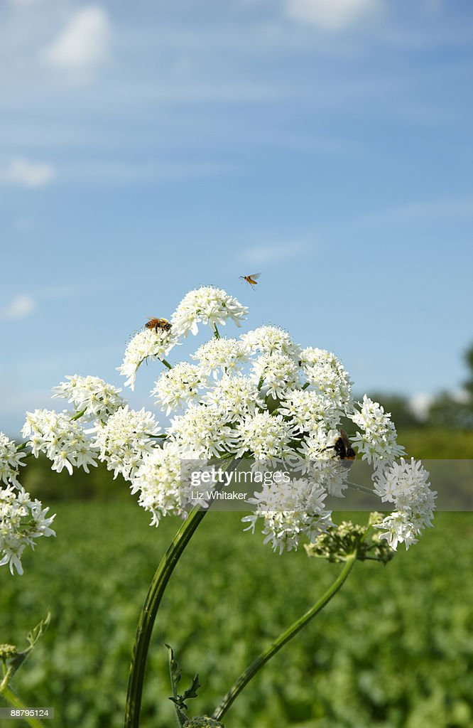 Honey bee, bee-fly and bumblebee on cow parsley : Stock Photo