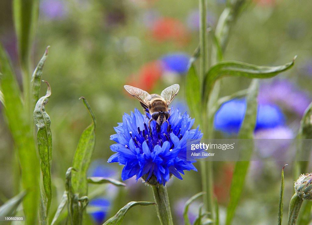 Honey Bee collecting pollen : Stock Photo