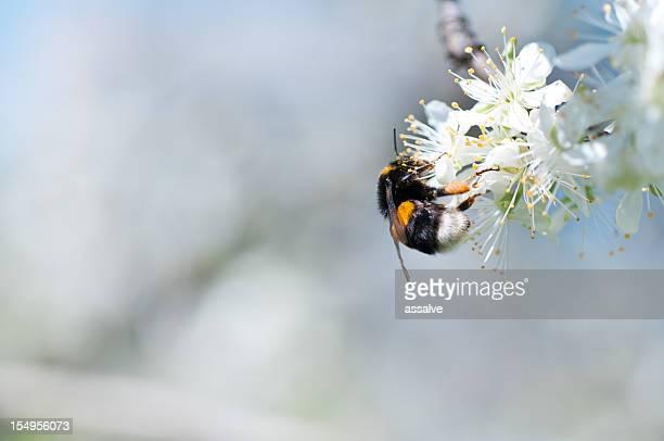 Honig Biene Sammeln von pollen