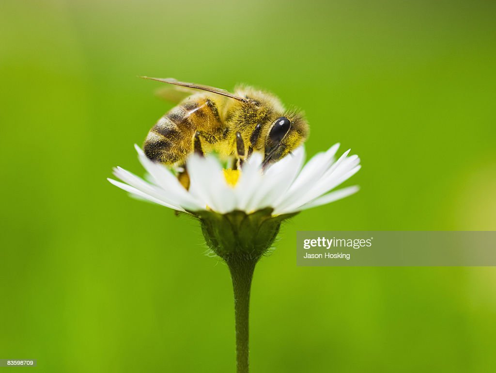 Honey bee covered in pollen from daisy. : Stock Photo