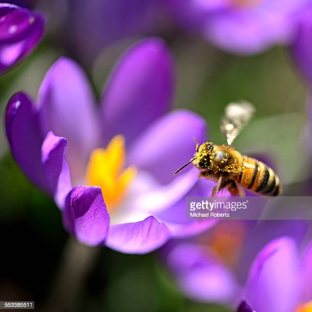 Honey bee covered in pollen on crocus
