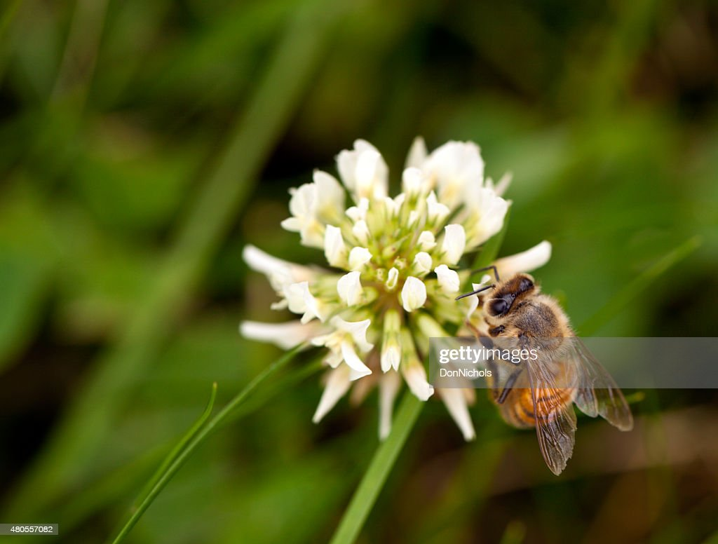 Honey Bee Feeding on Clover : Stock Photo