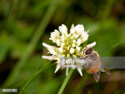 Honey Bee Feeding on Clover : Stock Photo