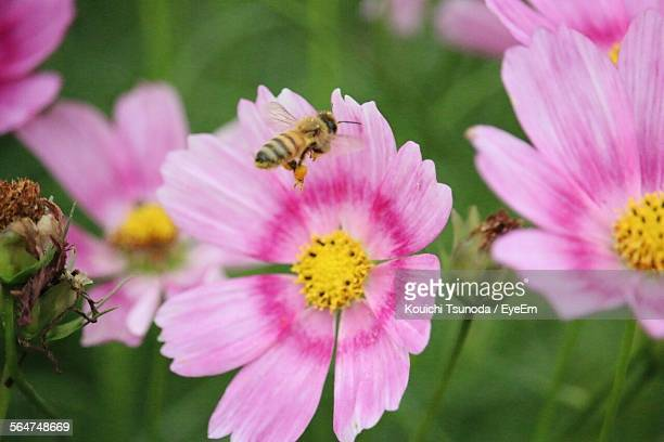 Honey Bee Feeding On Pink Flower